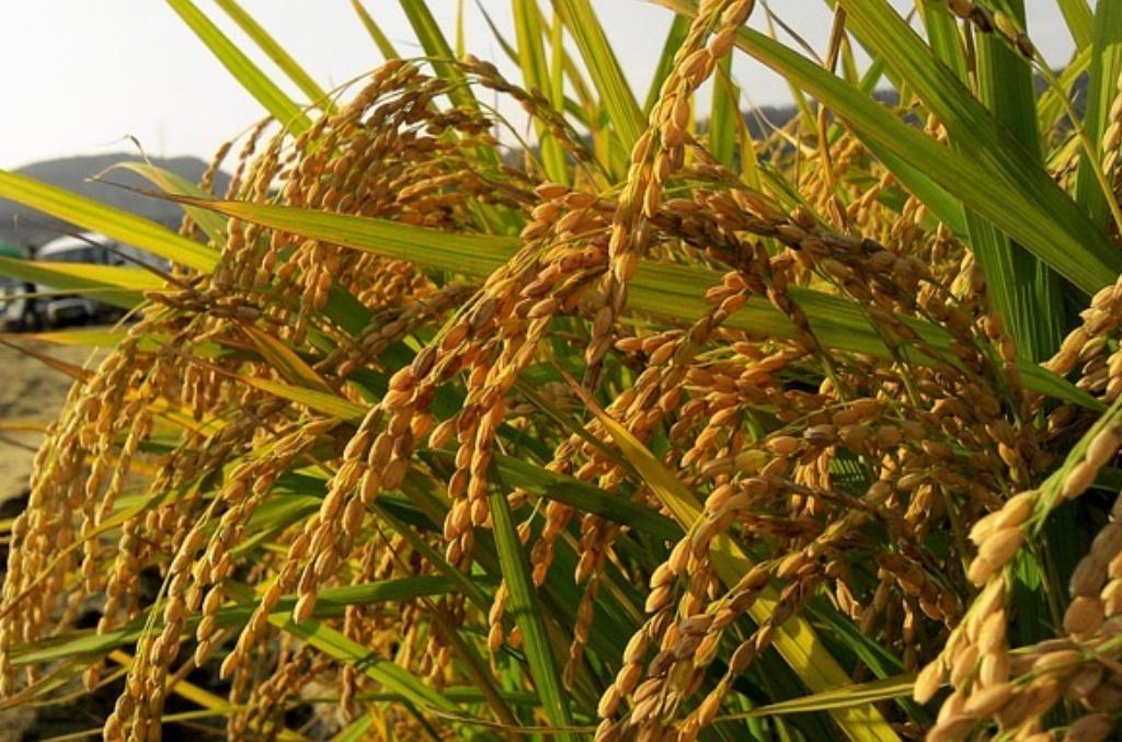 お米を食べるダイエットの真相。お米ならいくら食べても太らない?本当に痩せるの??